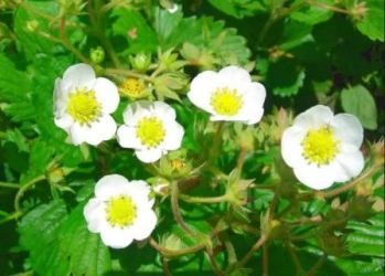 Уход за клубникой в период цветения, фото