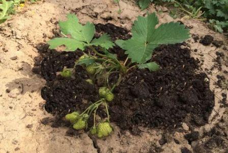 Выращивание клубники в грунте