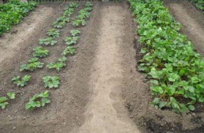 Как правильно выращивать клубнику, фото