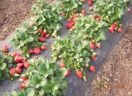 Клубника: уход и выращивание