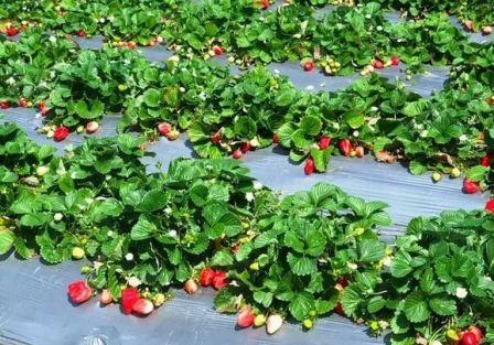 Клубника: особенности выращивания
