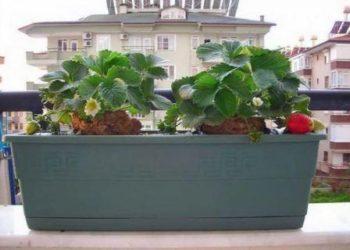 Выращивание клубники на балконе, фото