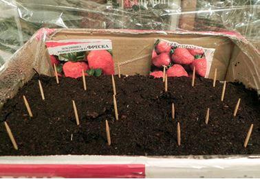Семена клубники для выращивания дома