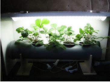 Уход +и выращивания клубники из семян