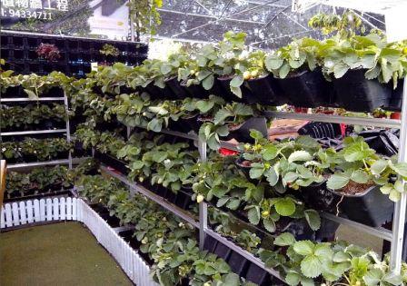 Выращивание клубники в теплицах по голландской технологии
