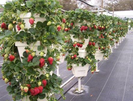 Выращивание клубники по голландской технологии в теплице круглый год