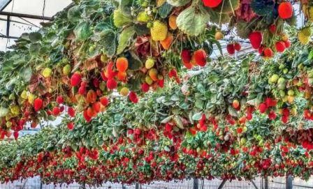 Выращивание клубники в теплице круглый год по голландской технологии