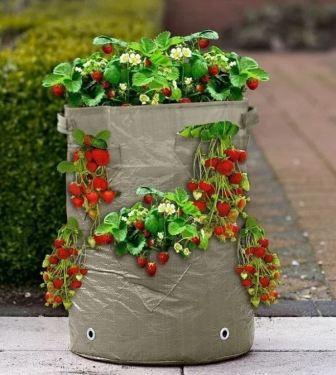 Выращивание клубники по голландской технологии без теплиц