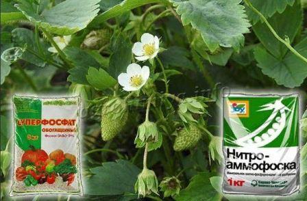 Чем подкормить клубнику в конце лета