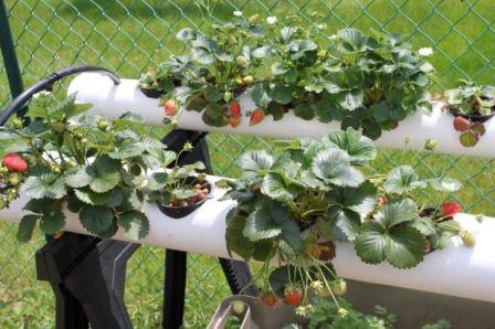 Клубника: выращивание в трубах