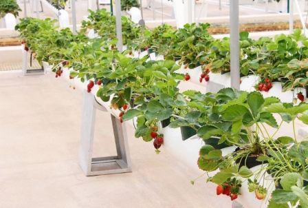 Клубника: выращивание в трубах горизонтально