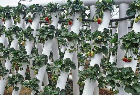 Выращивание клубники в трубах пвх горизонтально круглый год