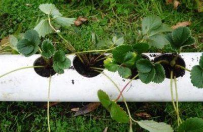 Выращивание клубники в пластиковых трубах