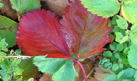 Почему краснеют листья на клубнике летом