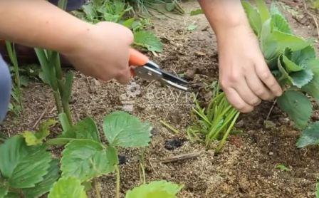 Обработка клубники после плодоношения летом