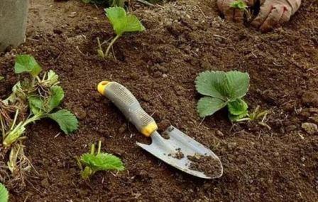 Обработка клубники летом после сбора урожая