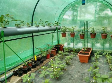 Выращивание в теплице зимой клубники