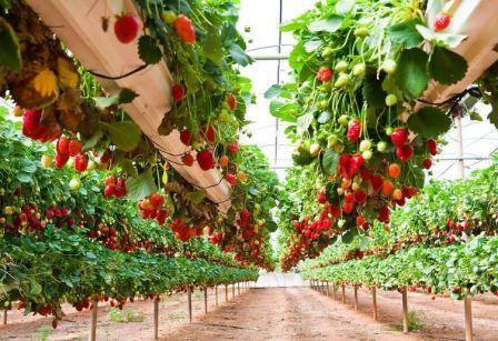 Можно ли выращивать в теплице клубнику