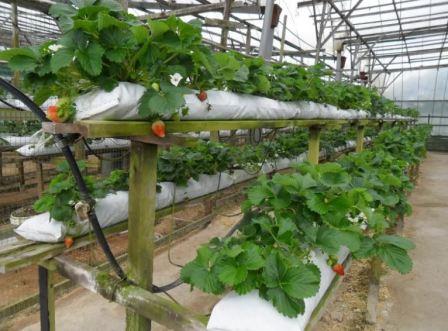 Выращивание клубники в зимней теплице