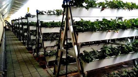 Сорта клубники для выращивания в теплице зимой