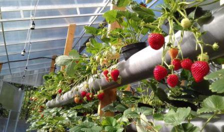 Выращивание клубники зимой в теплице гидропоника