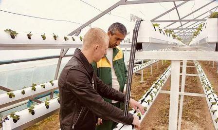 Технология выращивания клубники в теплице зимой