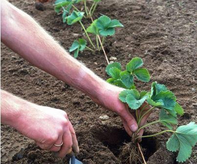 Земклуника: плодоношение в год посадки