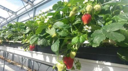 Выращивание ремонтантной клубники в теплице круглый год