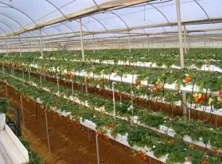 Клубника ремонтантная выращивание и уход в теплице