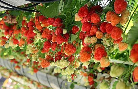 Как выращивать ремонтантную клубнику в теплице