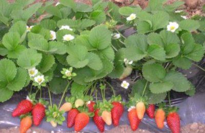 Что такое ремонтантная клубника: выращивание и уход