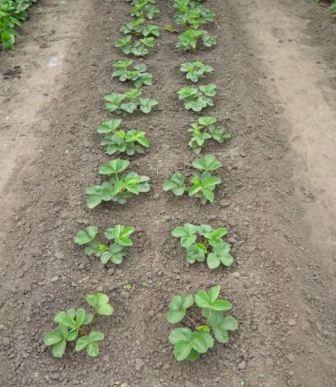 Выращивание ремонтантной клубники в открытом грунте: способы