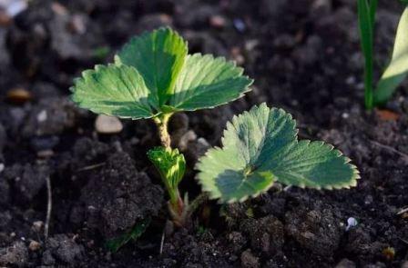 Особенности выращивания ремонтантной клубники в открытом грунте
