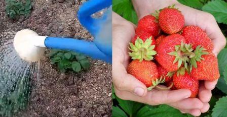 Ремонтантная клубника: выращивание и уход обрезка