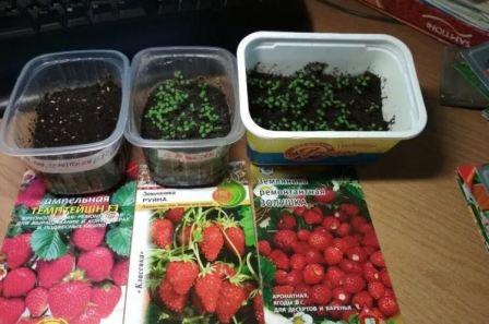 Выращивание ремонтантной клубники из семян в торфяных таблетках