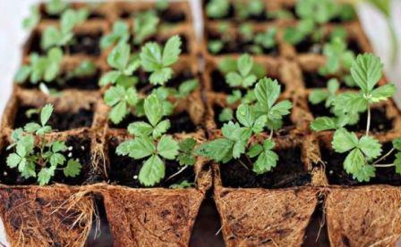 Вырастить ремонтантную клубнику из семян