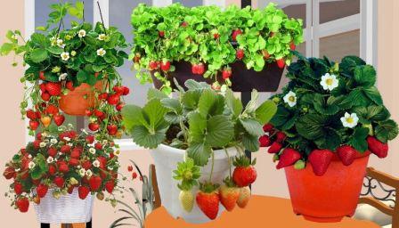 Ремонтантная клубника выращивание дома