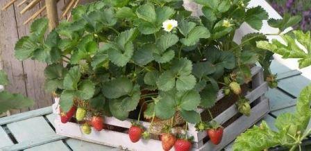 Ремонтантная клубника выращивание и уход дома