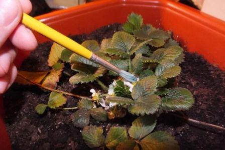 Ремонтантная клубника выращивание дома и уход