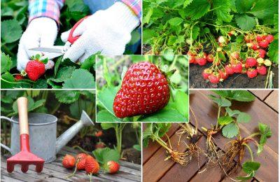 Подкормка клубники осенью: какие удобрения выбрать