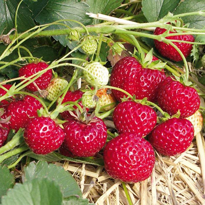 Сорта клубники с тёмными ягодами