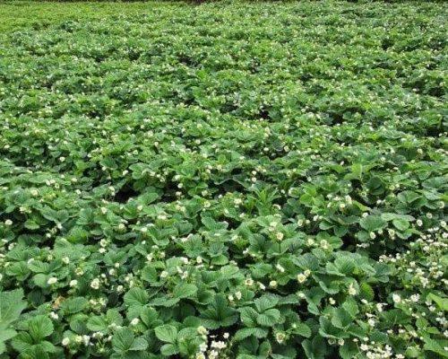 Выбор участка для выращивания клубники