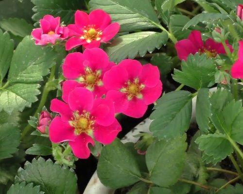 Ампельная клубника: уход и выращивание