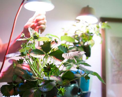 Для выращивания клубники в домашних условиях требуется дополнительное освещение