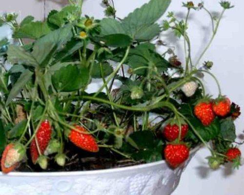 Клубнику можно выращивать дома на подоконнике