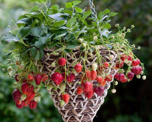 Плетеные корзины отлично подходят для выращивания клебники