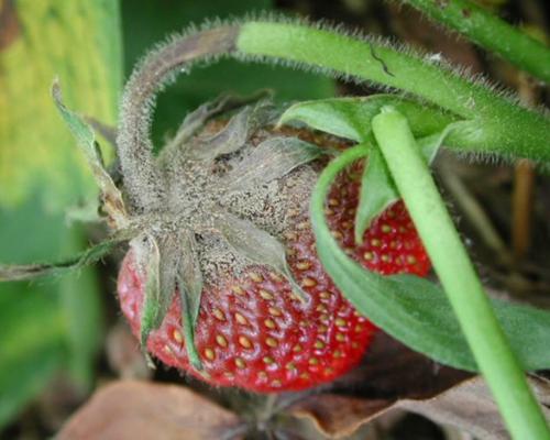Плодовые гнили клубники