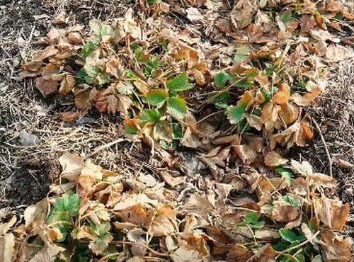 Растения клубники очищают от нижних листьев