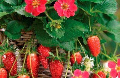 Тоскана – популярный ампельный розовоцветный сорт