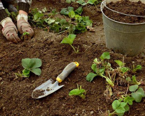 Саженцы и сеянцы клубники, подрощенные в тепличных или комнатных условиях, пересаживают в открытый грунт